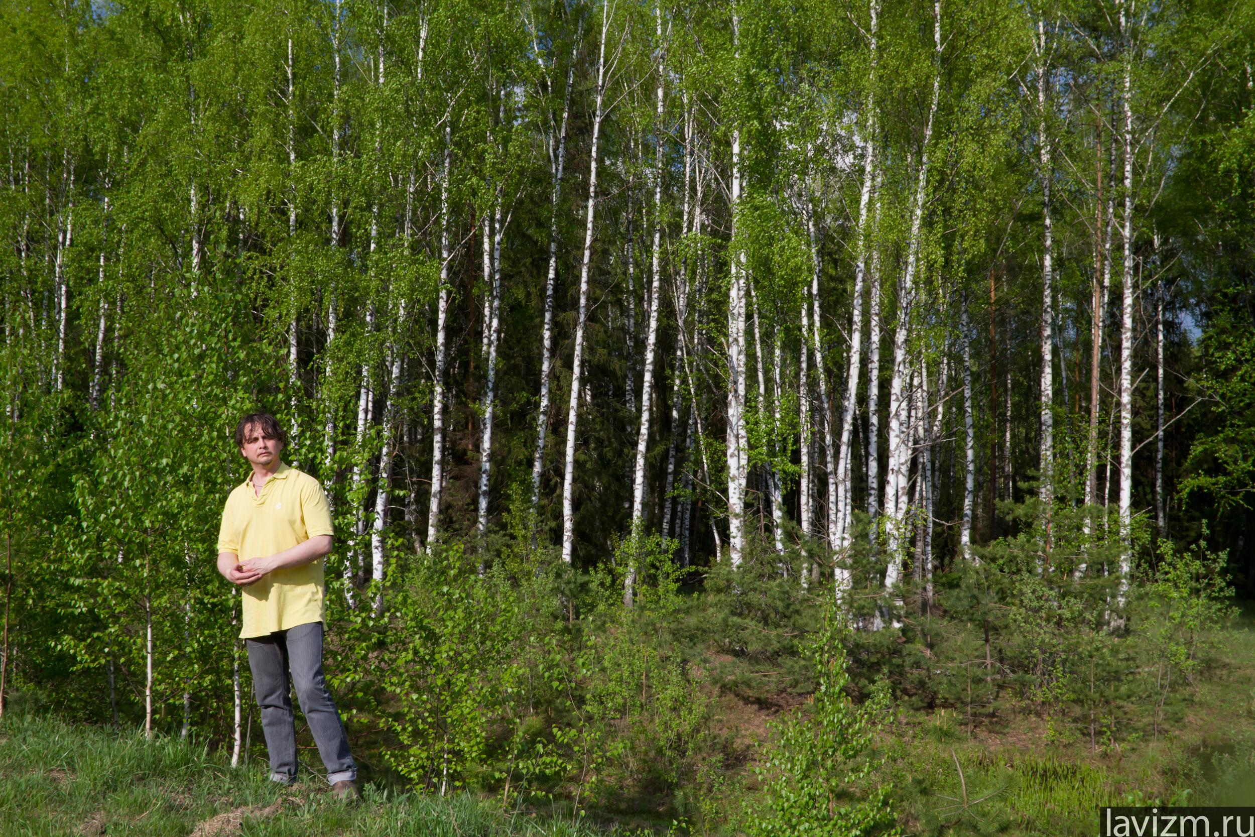 Березовая роща березовый лес березы